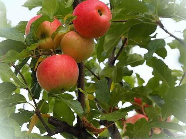 Яблоки витамины и минералы_1