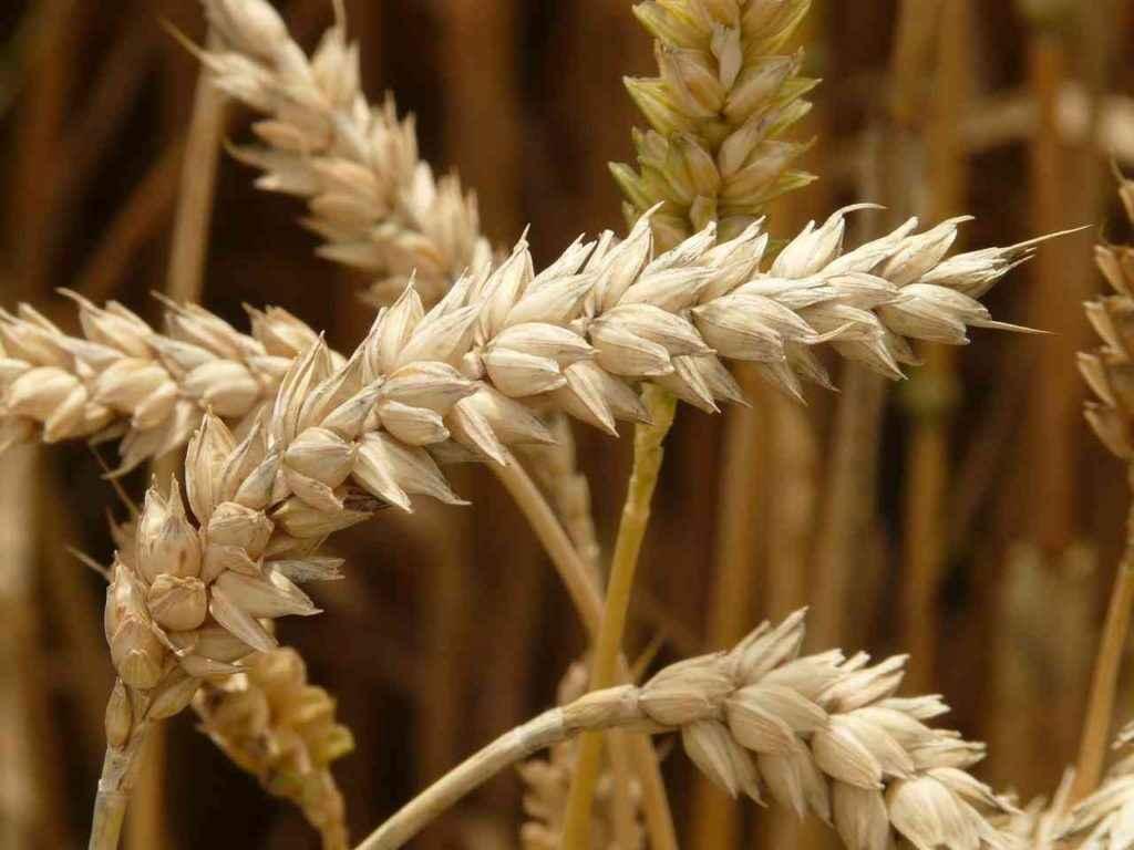 пшеница содержит марганец