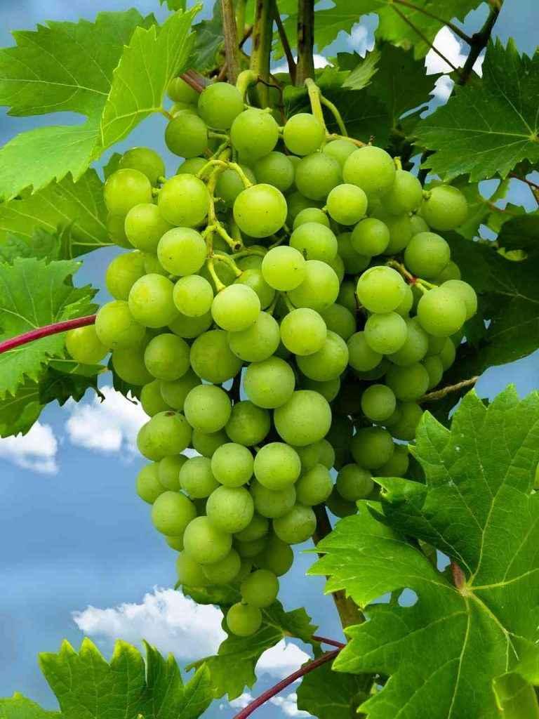 виноградный сок содержит кремний